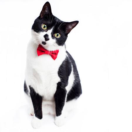 cat bow tie collar photo - 1