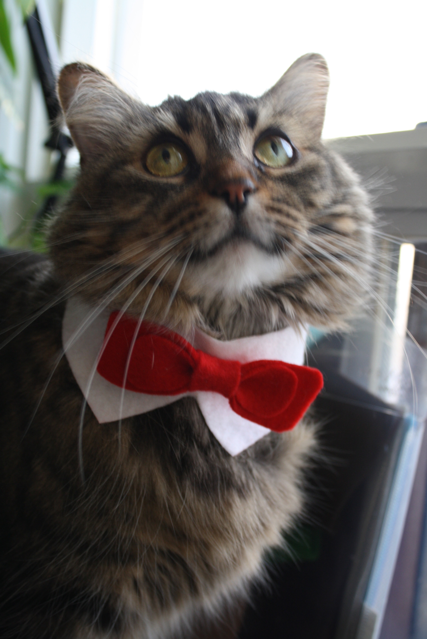 cat with bow tie photo - 1